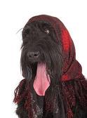 Black Russian Terrier (BRT or Stalin's dog) — Stock Photo