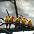 Stock Photo: Some parrots (Aratingsolstitialis)