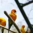 Parrots (Aratinga solstitialis) — Photo