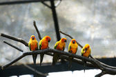 Some parrots (Aratinga solstitialis) — Stock Photo