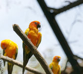 Parrots (Aratinga solstitialis) — Stock Photo