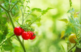 Cherry tomatoes in a garden — Stockfoto