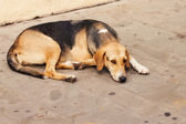 Stray dog resting on the ground — Stock Photo
