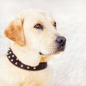 Purebred labrador retriever portrait — Стоковое фото