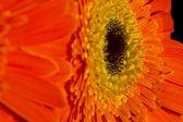 Oranje gerbera — Stockfoto