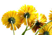 Yellow gerbera — Foto Stock