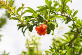 Pomegranate branch — Stock Photo