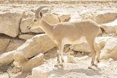 Capra nubiana — Stock Photo