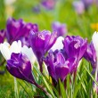 Crocuses - Stock Photo