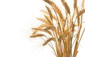 Wheat isolated on white background — Stock Photo