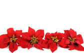 Poinsettias flower — Stock Photo