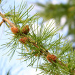 Fir tree branch with cones — ストック写真