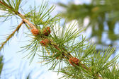 Fir tree branch with cones — Stock Photo
