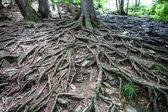 Old tree with large spreading roots — Stock Photo