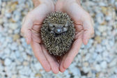 Environment protection - hedgehog in human hand — Stock Photo