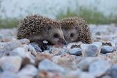 Cute hedgehog, wildlife — Stock Photo