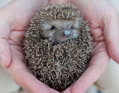 Cute hedgehog baby in male hand, closeup — Stock Photo
