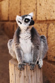 Ring-tailed lemur monkey — Stockfoto