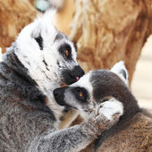 Kissing lemurs monkey - kiss, animal love concept — Stock Photo