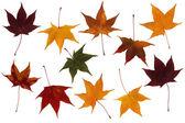 Maple leaves set — Stock Photo