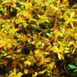 Stock Photo: St John's Wort