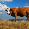 Cow — Stock Photo #35532525