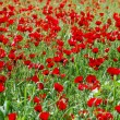 Poppy flowers in springtime - Foto de Stock
