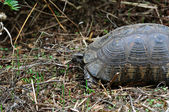 Forest turtle in natural environment — Stock Photo