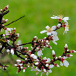 Almond buds and flowers after the rain — Lizenzfreies Foto