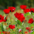 Poppy flowers in green field — Stok fotoğraf