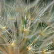 Dandelion plant abstraction — Stockfoto