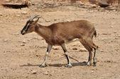 Cretan wild goat — Stock Photo