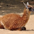 Guanaco camelid animal — Stock Photo #25844101