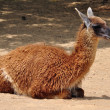 Guanaco camelid animal — Foto de Stock