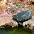 Red-eared slider turtle — Stock Photo