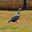 Cereopsis goose — Stockfoto