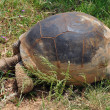 Aldabra giant tortoise feeding on grass — 图库照片
