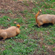 Prairie dog rodents feeding on grass — Stock Photo