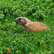 Stock Photo: Barking prairie dog