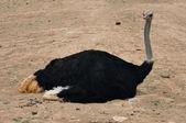 野生鸵鸟 — 图库照片
