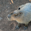 Stock Photo: Capybara rodent