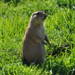 Prairie dog rodent animal — Stok fotoğraf