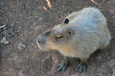 Capybara rodent — Stock Photo