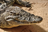 Nile crocodile wild animal — Stock Photo