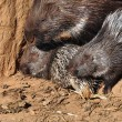 Indian crested porcupines — Stock Photo