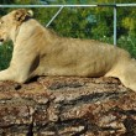 Постер, плакат: African lioness