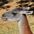 Guanaco animal — Stock Photo