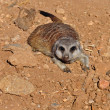Meerkat animal — Stock Photo
