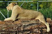 非洲母狮 — 图库照片