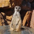 Funny meerkat animal — Stock fotografie